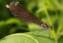 Blauflügel-Prachtlibelle, Calopteryx virgo, adultes Weibchen (1).