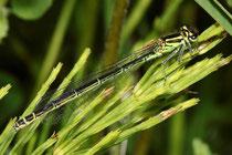 Hufeisen - Azurjungfer, Coenagrion puella, Weibchen in grüner Variante.