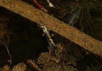 Gemeine Becherjungfer, Enallagma cyathigerum, Eiablage durch das Weibchen alleine, unter Wasser.