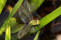 Aeshna viridis bei der Eiablage an der Krebsschere (2).