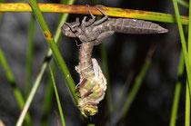 Früher Schilfjäger, Brachytron pratense, Männchen beim Schlupf (1).