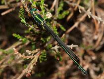 Glänzende Binsenjungfer, Lestes dryas, junges Männchen.