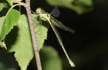 Gemeine Weidenjungfer, Chalcolestes viridis, ganz junges Weibchen.
