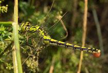 Ein Weibchen der Grünen Flussjungfer beim Auspressen eines Eiballens (3).
