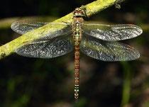 Südliche Azurjungfer, Aeshna affinis, erwachsenes Weibchen, 3
