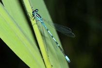 Hufeisen - Azurjungfer, Coenagrion puella, erwachsenes Männchen (1).