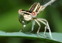 Ein weibliches Jungtier der Blauen Federlibelle, Platycnemis pennipes, einen Wassertropfen balancierend.