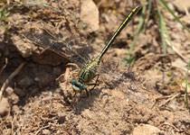 Westliche Keiljungfer, Gomphus pulchellus, altes Männchen.