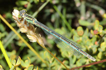 Pokal - Azurjungfer, Erythromma lindenii, erwachsenes Weibchen (1).