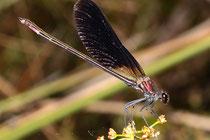Bronzene Prachtlibelle, Calopteryx haemorrhoidalis, erwachsenes Männchen.