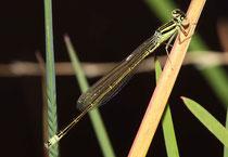 Kleine Pechlibelle, Ischnura pumilio, heranreifendes Männchen.