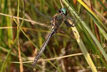 Alpen-Smaragdlibelle, Somatochlora alpestris, erwachsenes Männchen (2)