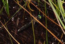 Ein Weibchen bei der Eiablage, dicht über dem Wasser durch die Vegetation fliegend.