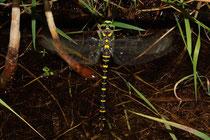 Zweigestreifte Quelljungfer, Cordulegaster boltonii, Weibchen bei der Eiablage (3).
