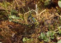 Blaugrüne Mosaikjungfer, Aeshna cyanea, ein  Männchen ergreift ein Weibchen zur Paarung.