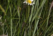 Arktische Smaragdlibelle, Somatochlora arctica. Pärchen im Gras (1).
