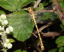 Große Zangenlibelle, Onychogomphus uncatus, junges Männchen.