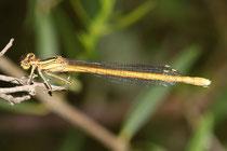 Rote Federlibelle, Platycnemis acutipennis, erwachsenes Weibchen (4).