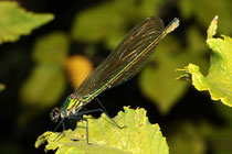 Gebänderte Prachtlibelle, Calopteryx splendens, erwachsenes Weibchen (1).