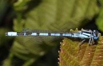 Gemeine Becherjungfer, Enallagma cyathigerum, erwachsenes Männchen (1).