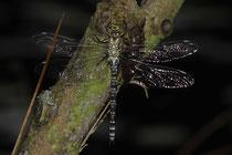 Frisch geschlüpftes Weibchen der Blaugrünen Mosaikjungfer, Aeshna cyanea.