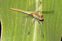 Blutrote Heidelibelle, Sympetrum sanguineum, junges Weibchen.