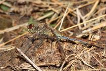 Blutrote Heidelibelle, Sympetrum sanguineum, altes Weibchen.