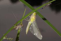 Große Heidelibelle, Sympetrum striolatum, ein Männchen beim Schlüpfen (2).