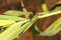Grüne Flussjungfer, Ophiogomphus cecilia, adultes  Männchen (3).