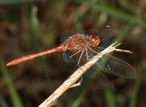 Südliche Heidelibelle, Sympetrum meridionale, Männchen in der Seitenansicht (2).