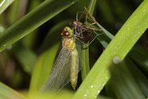 Sumpf-Heidelibelle, Sympetrum depressiusculum, Weibchen beim Schlupf.