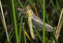 Große Heidelibelle, Sympetrum striolatum, ein Weibchen während der Emergenz.