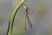 Gemeine Weidenjungfer, Chalcolestes viridis, das Männchen befüllt sein sekundäres Geschlechtsorgan mit Spermien.