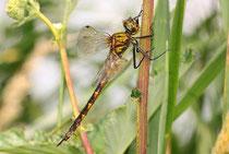 Ruhendes Weibchen von Somatochlora flavomaculata (2).