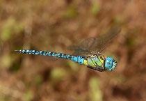 Südliche Mosaikjungfer, Aeshna affinis, Männchen auf Patrouillenflug 1