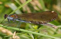 Blauflügel-Prachtlibelle, Calopteryx virgo, adultes Weibchen (3).