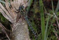 Früher Schilfjäger, Brachytron pratense, erwachsenes Männchen (2).