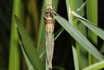 Große Heidelibelle, Sympetrum striolatum, ein Männchen beim Schlüpfen (3).