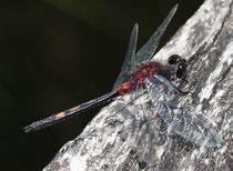 Kleine Moosjungfer, Leucorrhinia dubia, halb ausgefärbtes Männchen.