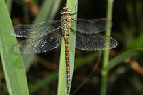 Südliche Azurjungfer, Aeshna affinis, erwachsenes Weibchen, 2
