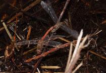 Große Heidelibelle, Sympetrum striolatum, Eiablage an der Ufervegetation eines kleinen Gewässers, dessen Rand eine dünne Eisschicht aufweist.