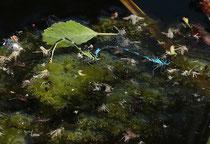 Fledermaus - Azurjungfer, Coenagrion pulchellum, Eiablage zwischen Tausenden von schlüpfenden Stechmücken.