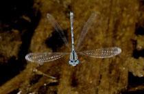 Pokal - Azurjungfer, Erythromma lindenii, ein Männchen überwacht die Eiablage eines getauchten Weibchens im Flug..