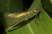 Gebänderte Prachtlibelle, Calopteryx splendens, sehr junges Weibchen.