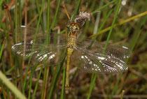 Schwarze Heidelibelle, Sympetrum danae, Weibchen kurz vor dem Jungfernflug.