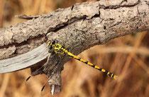 Große Zangenlibelle, Onychogomphus uncatus, erwachsenes Weibchen (4).