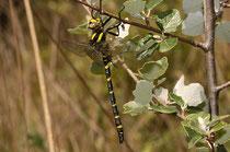 Ein junges Männchen der Zweigestreiften Quelljungfer, Cordulegaster boltonii, nach dem Jungfernflug (1).