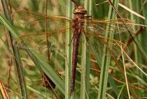 Erwachsenes Weibchen von Aeshna grandis (1).