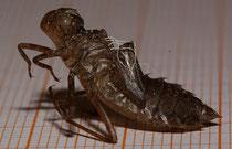 Große Moosjungfer, Leucorrhinia pectoralis, Exuvie (1).