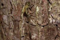 Ein Weibchen des Großen Granatauges schlüpft an einem Baumstamm...